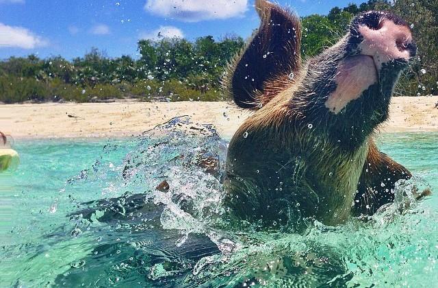 Warblr Photography: #whenpigsswim